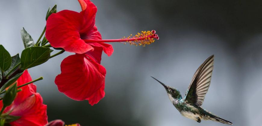 Hibiscus (Hatmi Çiçeği)