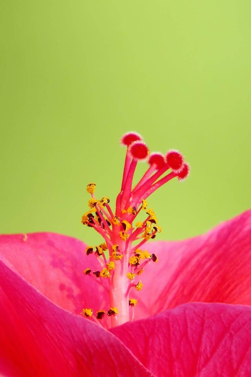 hibiscus nedir